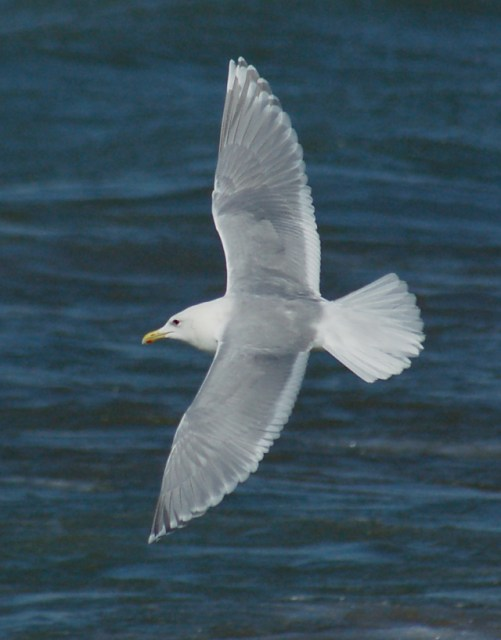 Iceland Gull (adult in...