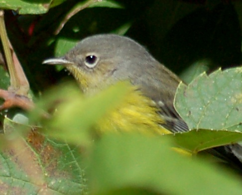 magnolia warbler fall - photo #24