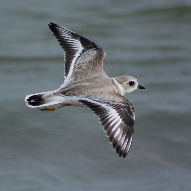 Piping Plover (juvenile in flight)