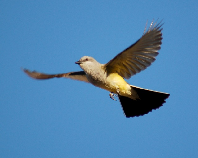 Western Kingbird photo #2