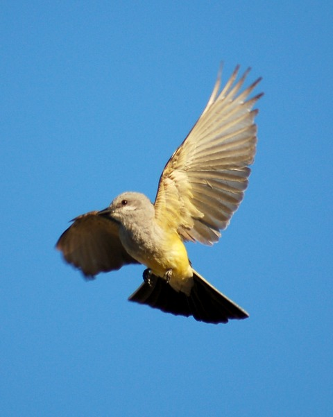 Western Kingbird photo #3