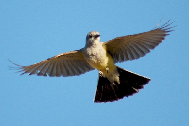 Western Kingbird photo #1