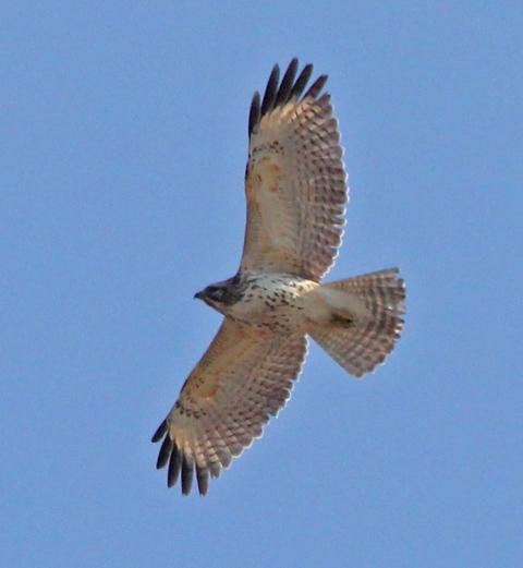Red-shouldered Hawk (i...