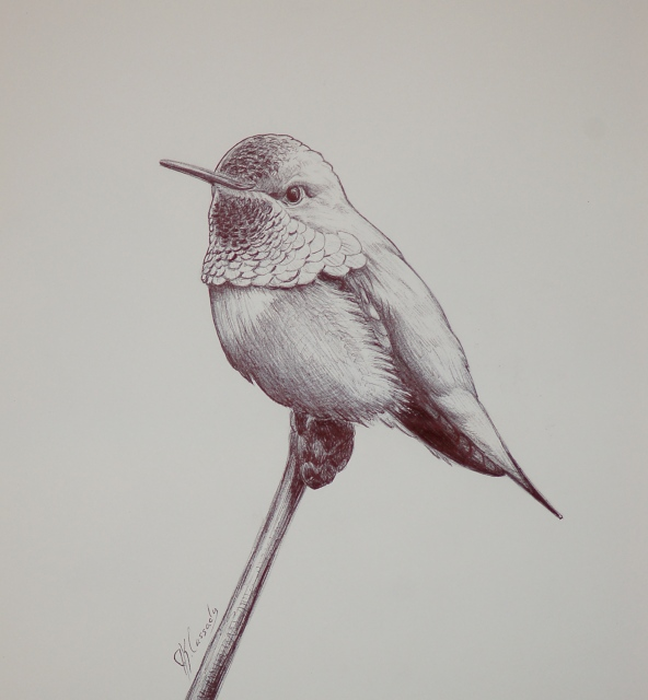 Rufous hummingbird drawing - photo#2